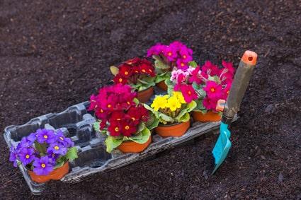 Einpflanzen von Primeln als Frühjahrsbepflanzung